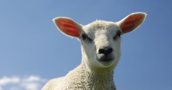 Behandelplan voor schapen